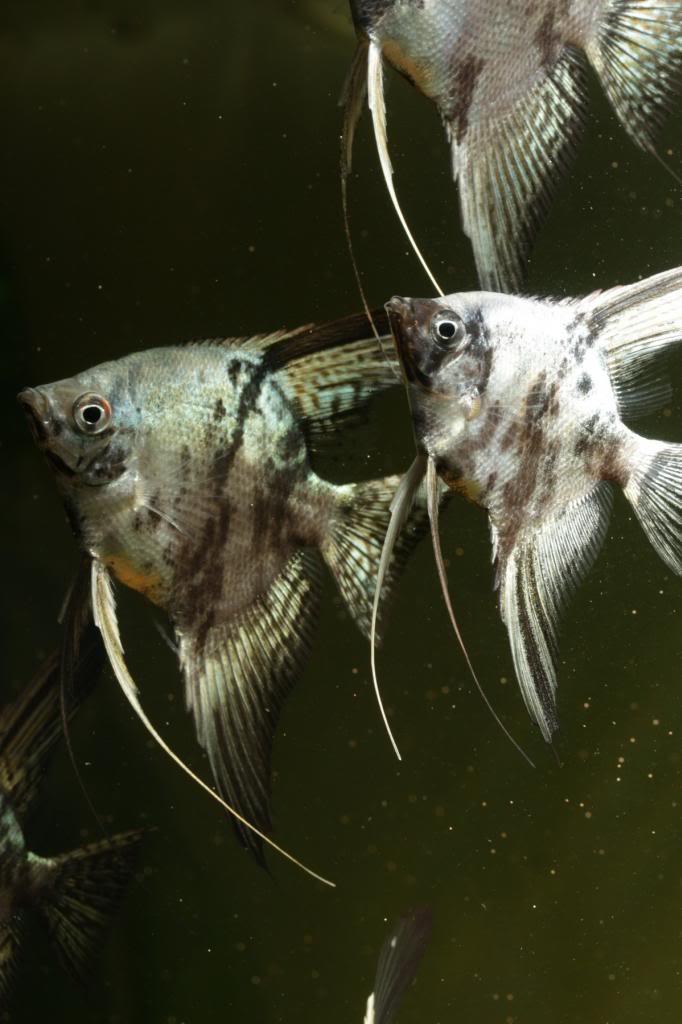 Robs fish room tales. - Page 3 IMG_7219_zpsbabafc80