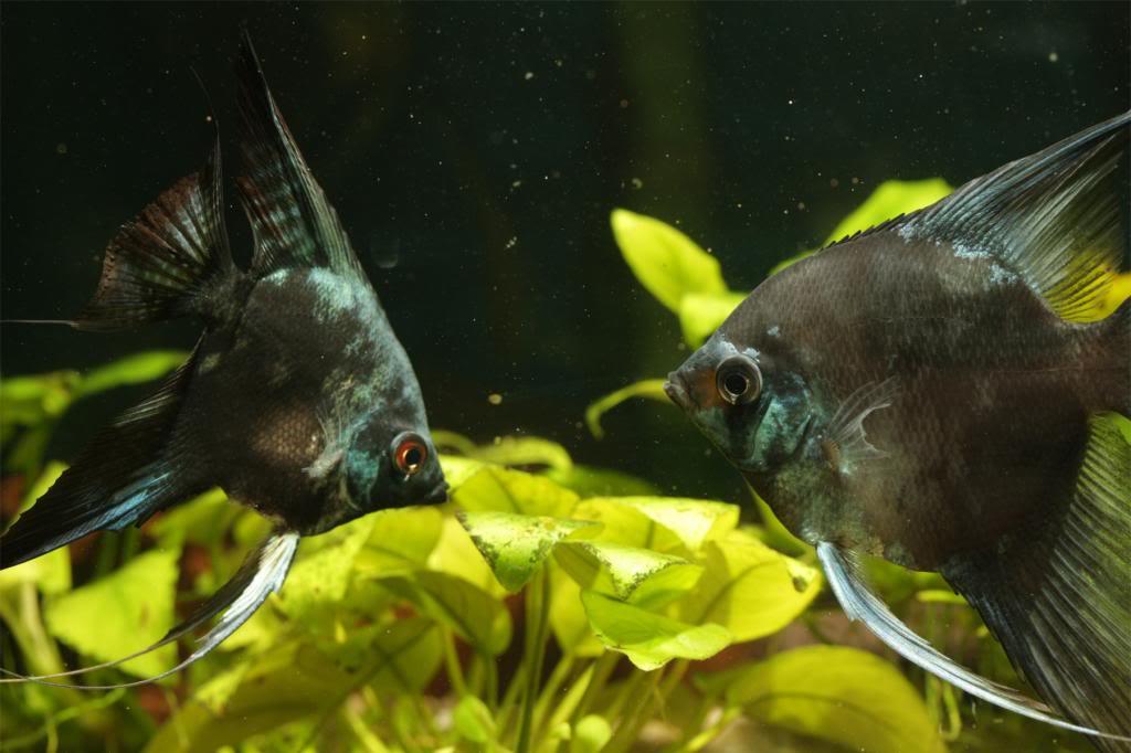 More of my fish IMG_8531_zpsd11112cf