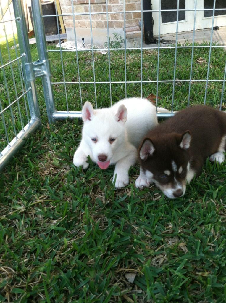 introducing......KAISER!!! Puppies5-28-12027