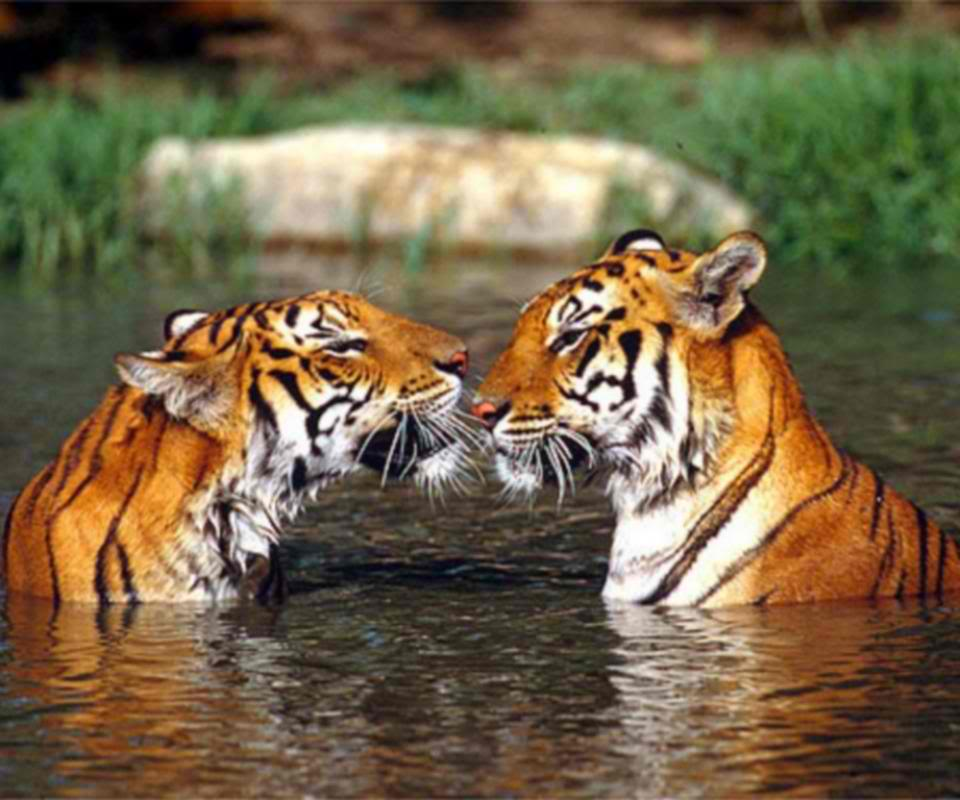 Animals - Page 2 Tigers