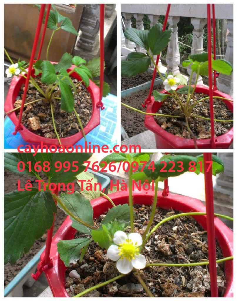 Hướng dẫn chăm sóc cây dâu tây (strawberry) khi trồng trong chậu IMG_20130728_121137_zpsf866f95e
