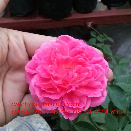 Chuyên cung cấp cây hoa hồng leo, hồng bụi  nhiều màu tại Hà Nội IMG_20140513_181142copy_zpsace03f6a