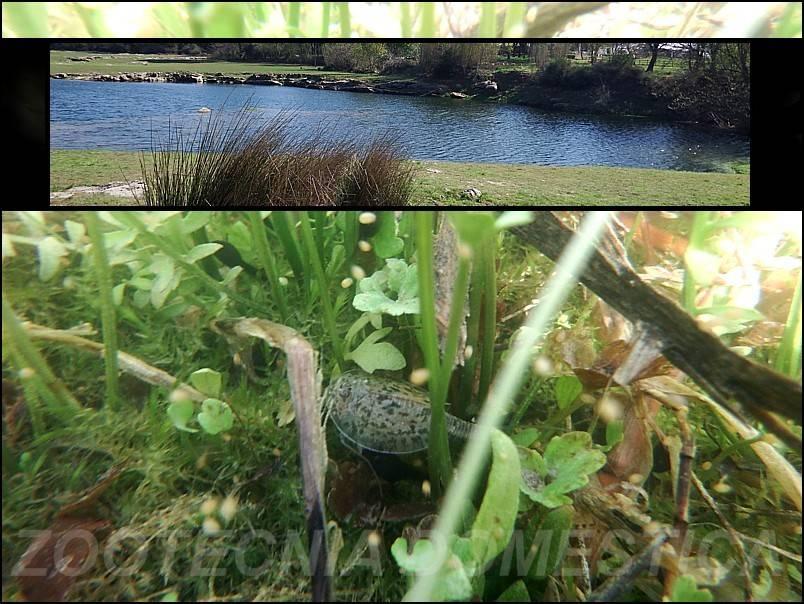 Triops cancriformis en la pradera inundada Clot_pradera_inundada%20montaje%20WEB_zpslwv6ocnq