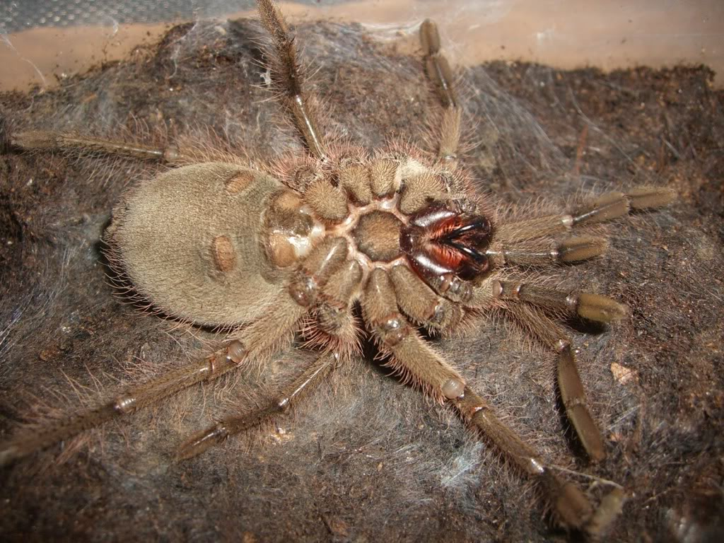 Theraphosa blondi molting pictures. CIMG6185