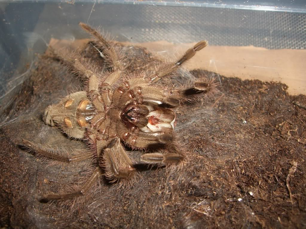 Theraphosa blondi molting pictures. CIMG6190