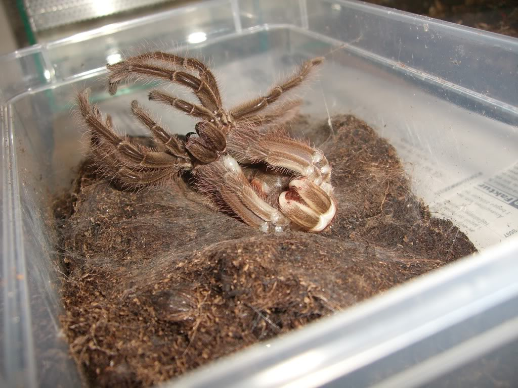 Theraphosa blondi molting pictures. CIMG6193