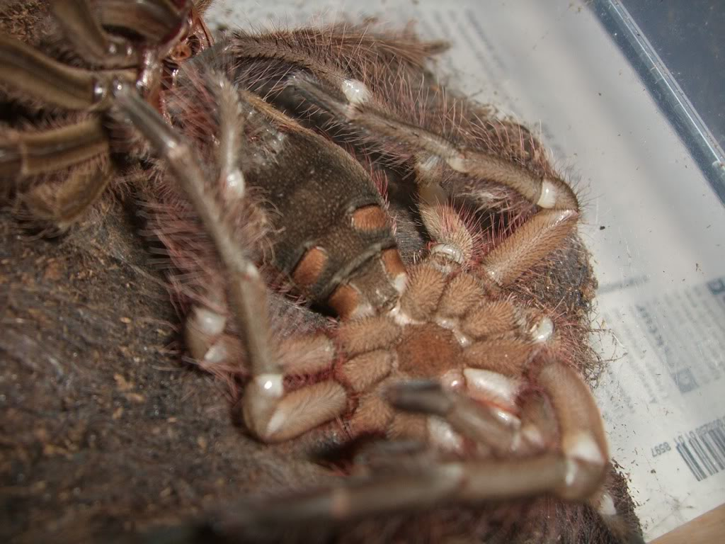 Theraphosa blondi molting pictures. CIMG6199