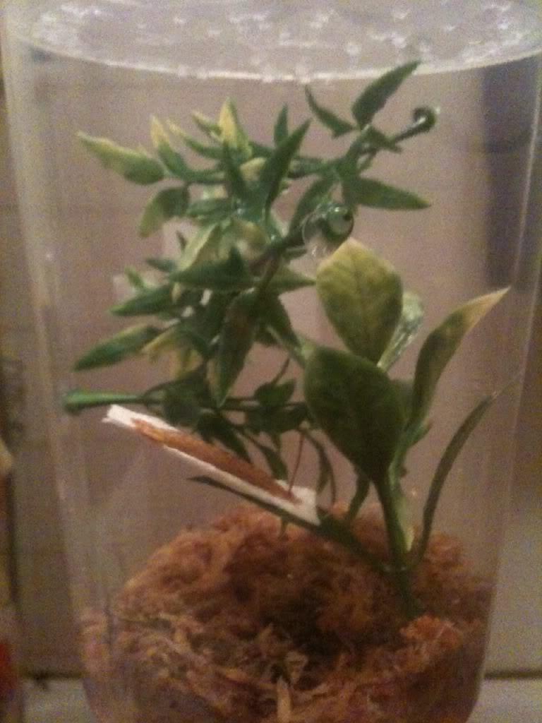 Mantis ootheca HATCHED 09/10/2011!! Bilde1-2