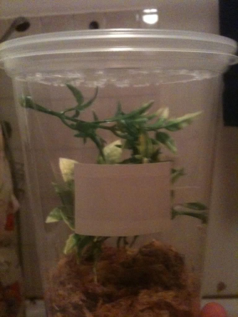 Mantis ootheca HATCHED 09/10/2011!! Bilde2-2