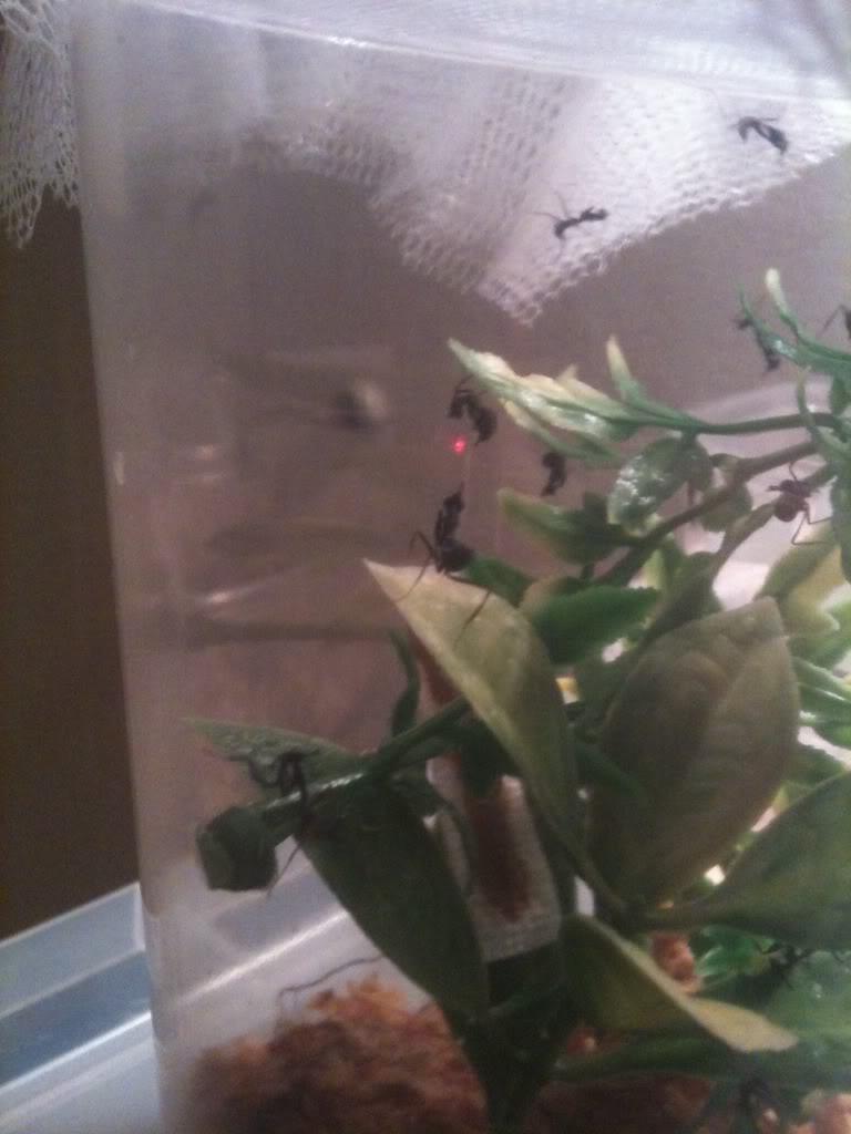 Mantis ootheca HATCHED 09/10/2011!! Bilde33