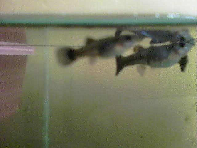 Viviparos (mis hembras reproductoras y algunas crias seleccionadas) 100_0289