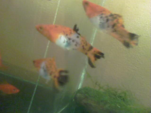 Viviparos (mis hembras reproductoras y algunas crias seleccionadas) 100_0298