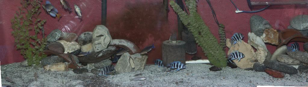 Black Congo White Pearl Calvus fry 8foot_zps025d73a2
