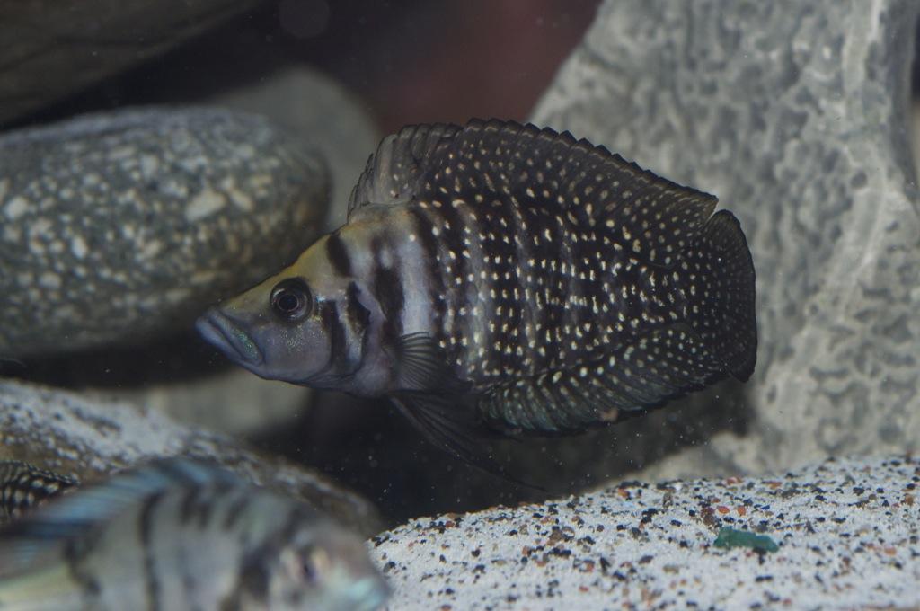 Black Congo White Pearl Calvus fry File-1201