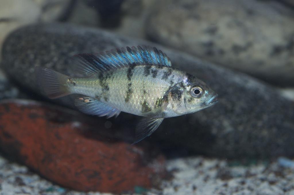 Black Congo White Pearl Calvus fry File-1257