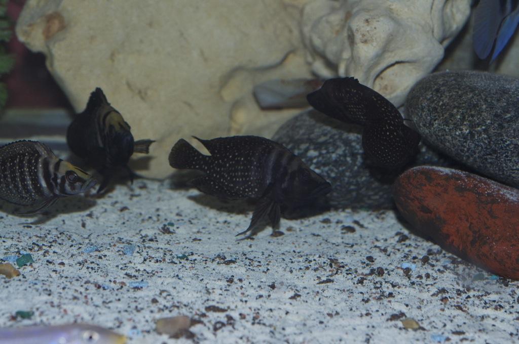 Black Congo White Pearl Calvus fry File-1270