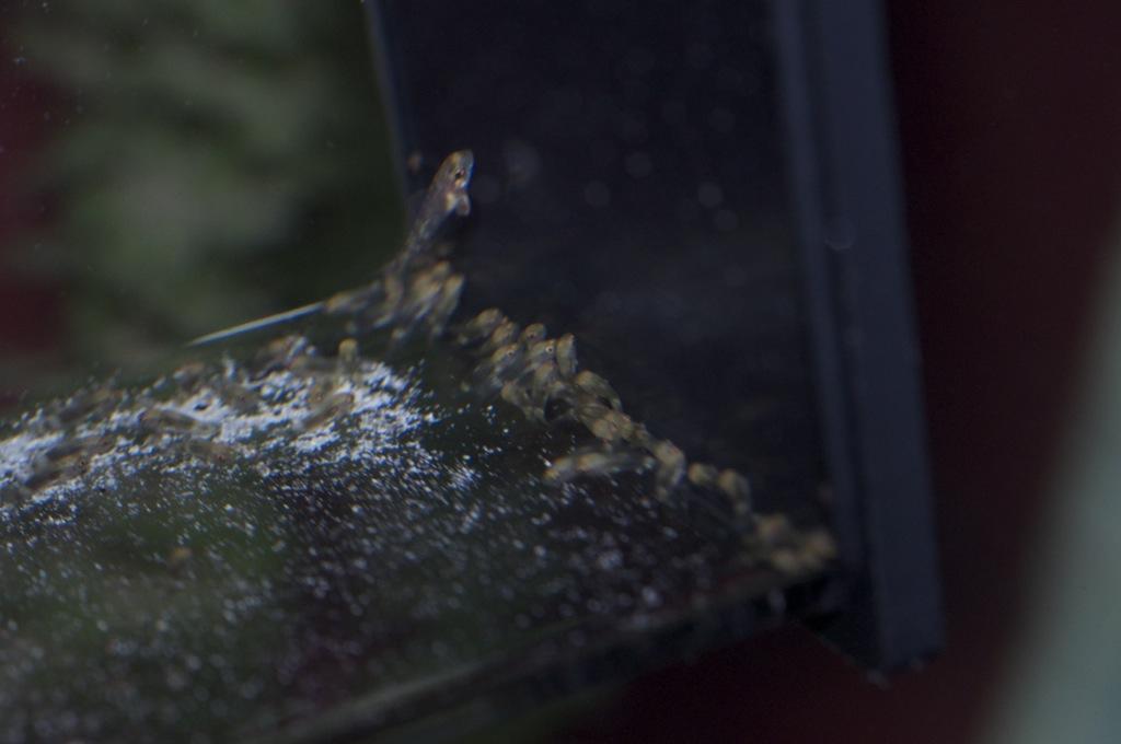 Black Congo White Pearl Calvus fry File-1528