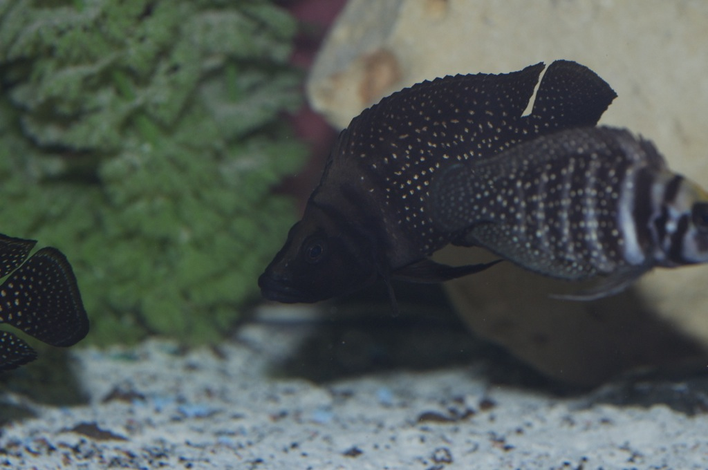Black Congo White Pearl Calvus fry File-2196