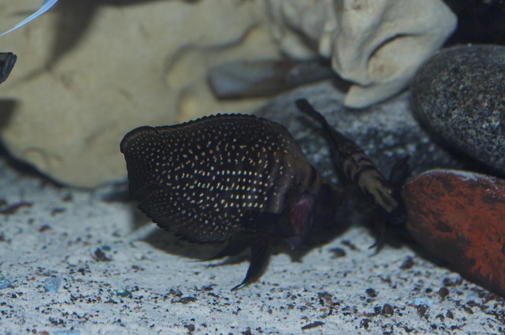 Black Congo White Pearl Calvus fry File-2407