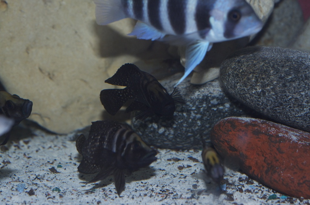 Black Congo White Pearl Calvus fry File-246