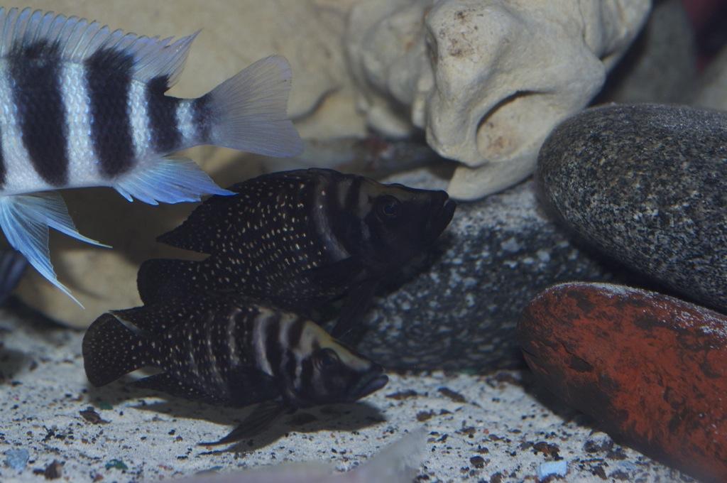 Black Congo White Pearl Calvus fry File-841