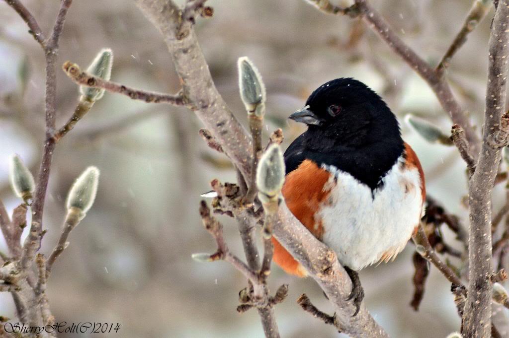 Bird pictures! 181towhee