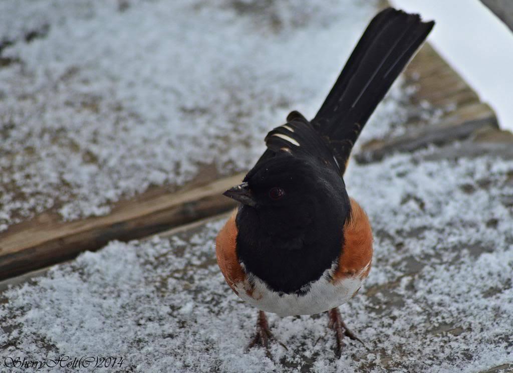 Bird pictures! 228towhee