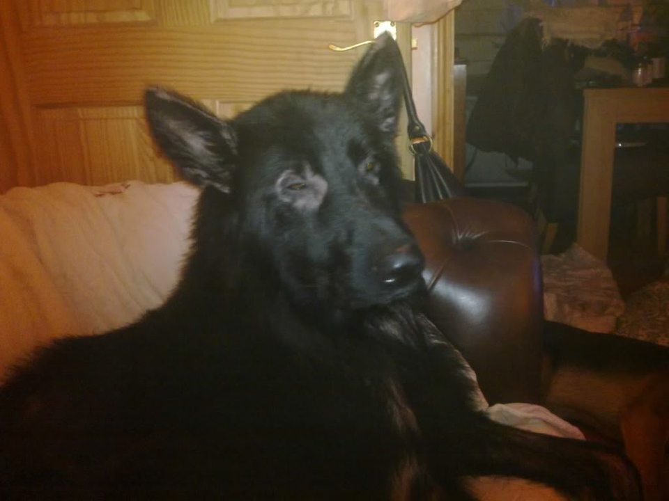 Prince VERY distressing pictures now homed Dogs030