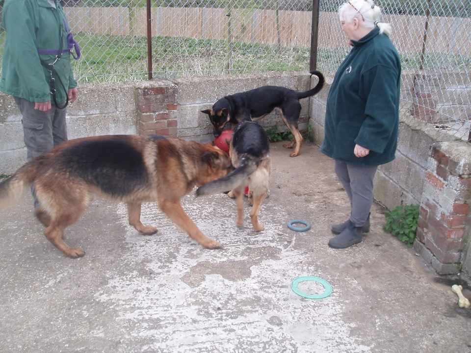 Brody Gorgeous Black and Gold Female homed VigilDogs017-1
