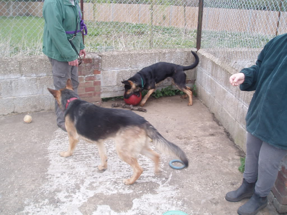Brody Gorgeous Black and Gold Female homed VigilDogs018-1