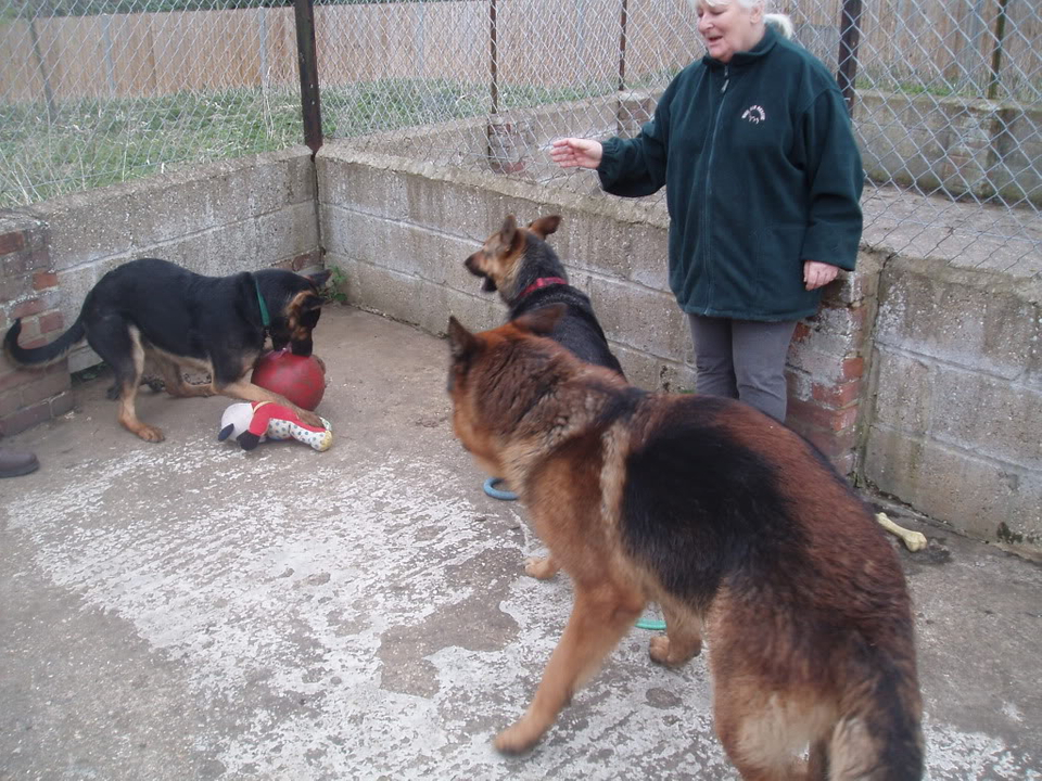 Brody Gorgeous Black and Gold Female homed VigilDogs020-2
