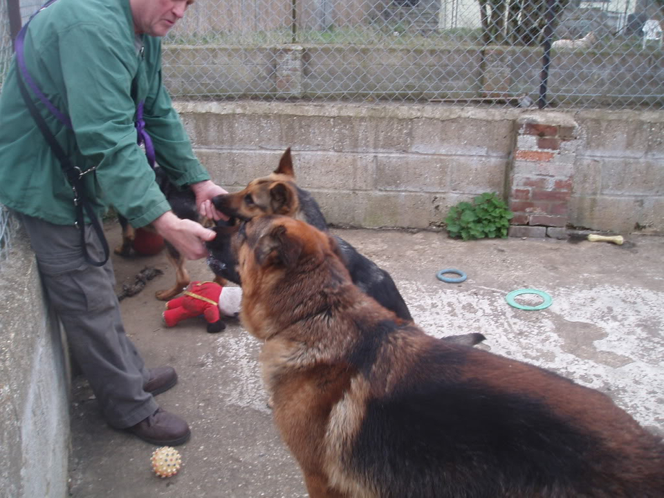 Brody Gorgeous Black and Gold Female homed VigilDogs021-2