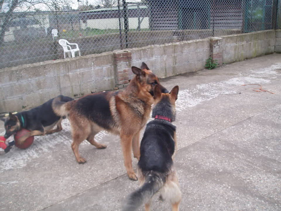 Brody Gorgeous Black and Gold Female homed VigilDogs024-2