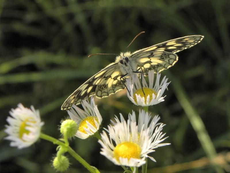 Slike insekata- buba Picture683