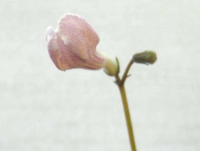 Streptocarpus forumul-florilor - Pagina 2 HPIM5537