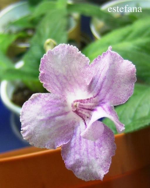 Streptocarpus forumul-florilor - Pagina 2 HPIM5544