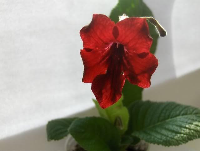 Streptocarpus forumul-florilor - Pagina 2 HPIM5662