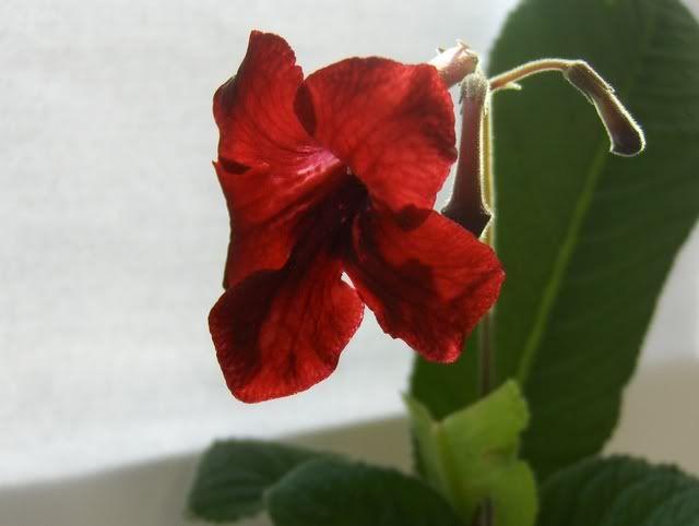Streptocarpus forumul-florilor - Pagina 2 HPIM5663