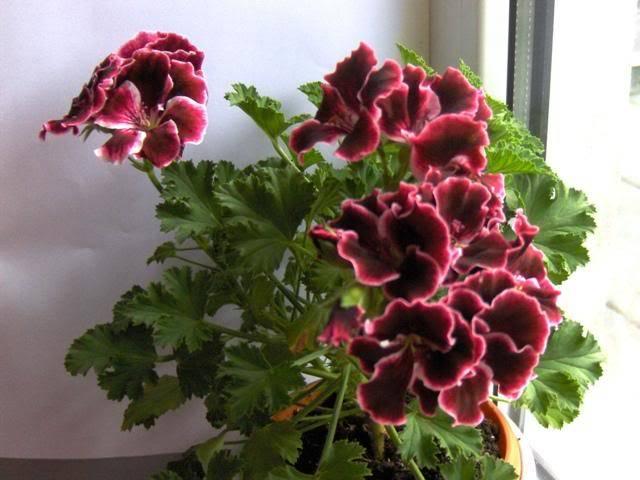 Pelargonium - muscata HPIM6185
