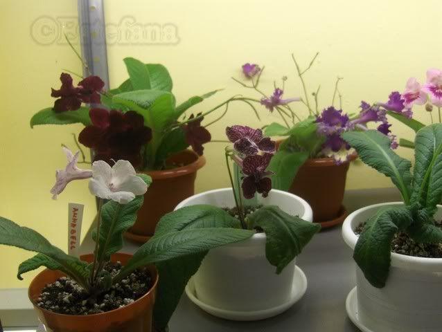 Grup de streptocarpusi HPIM6308