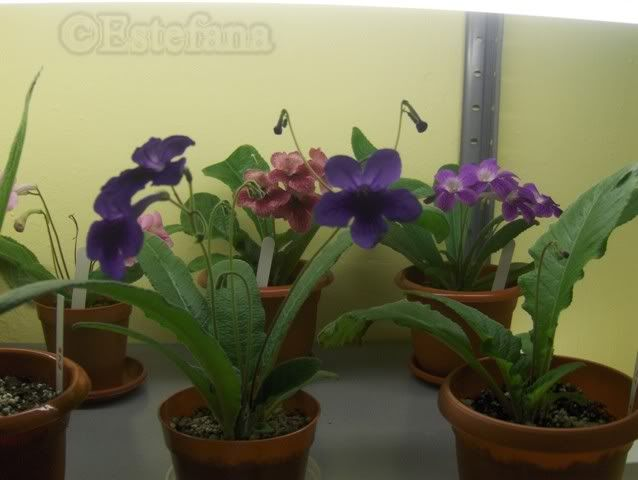 Grup de streptocarpusi HPIM6310