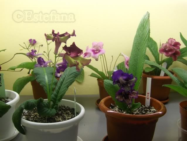 Grup de streptocarpusi HPIM6311