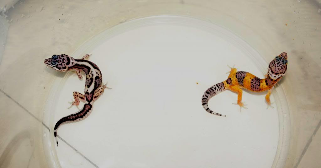 My Leopard Gecko Collection (Eublepharis macularius) DSC00474_zpsf2841db5