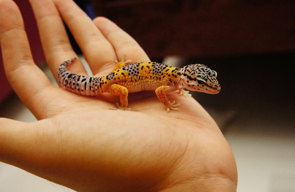 My Leopard Gecko Collection (Eublepharis macularius) DSC00751_zps4fb51f57