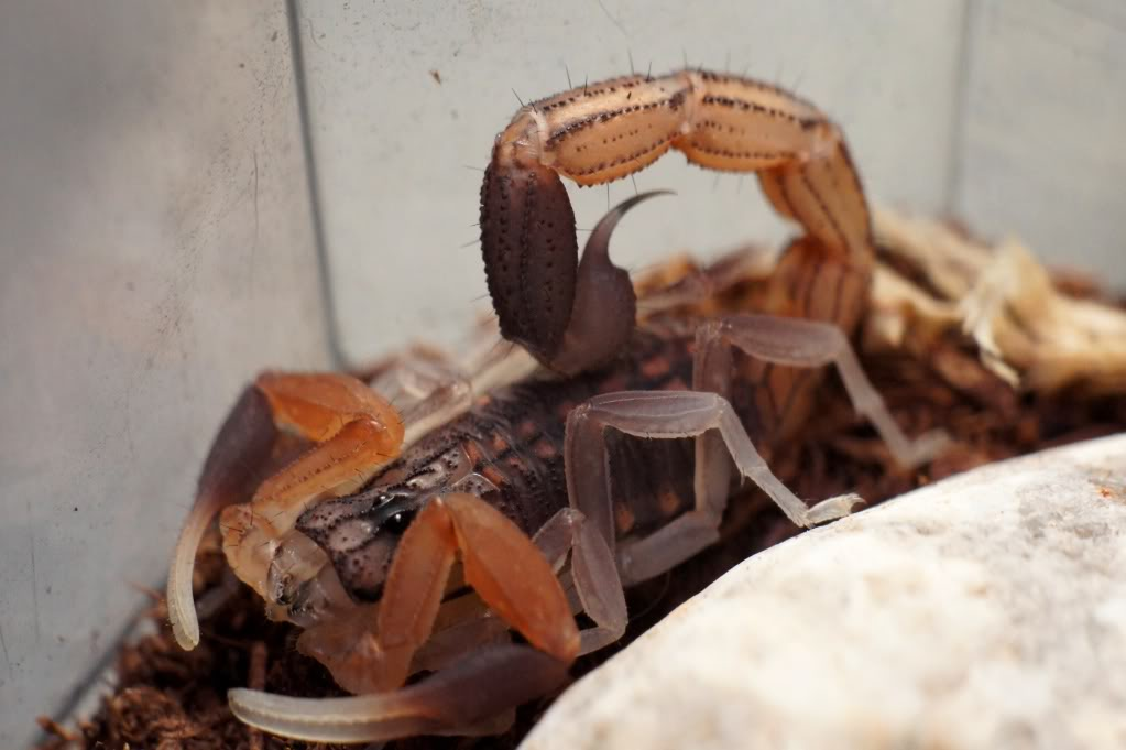 [Sharing] WHO MOLTED TODAY? (Post molting pics here!) - Page 2 DSC02526