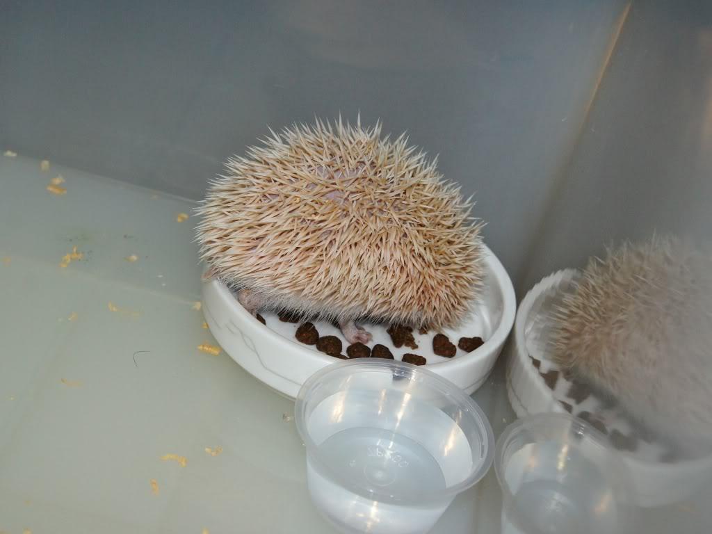 Rocky & Rosie, my lovely hedgehog DSC02816