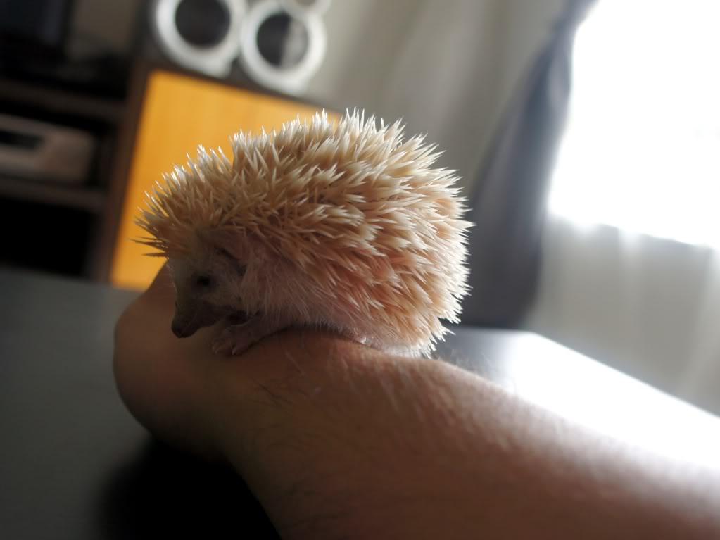 Rocky & Rosie, my lovely hedgehog DSC02827