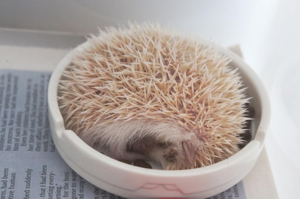Rocky & Rosie, my lovely hedgehog DSC02846