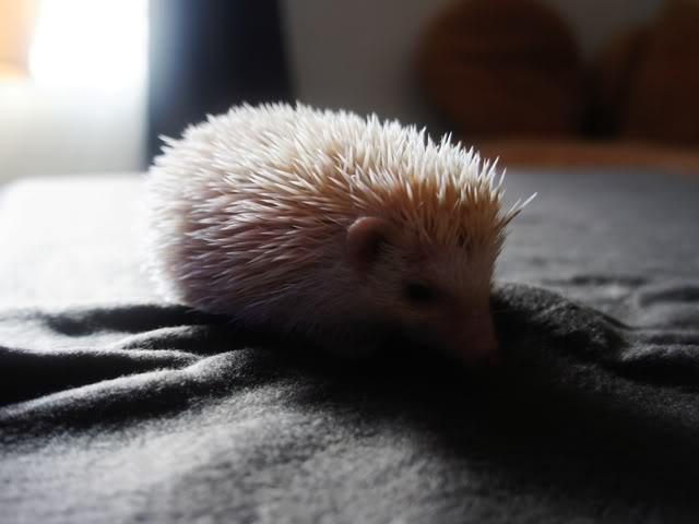 Rocky & Rosie, my lovely hedgehog DSC03221
