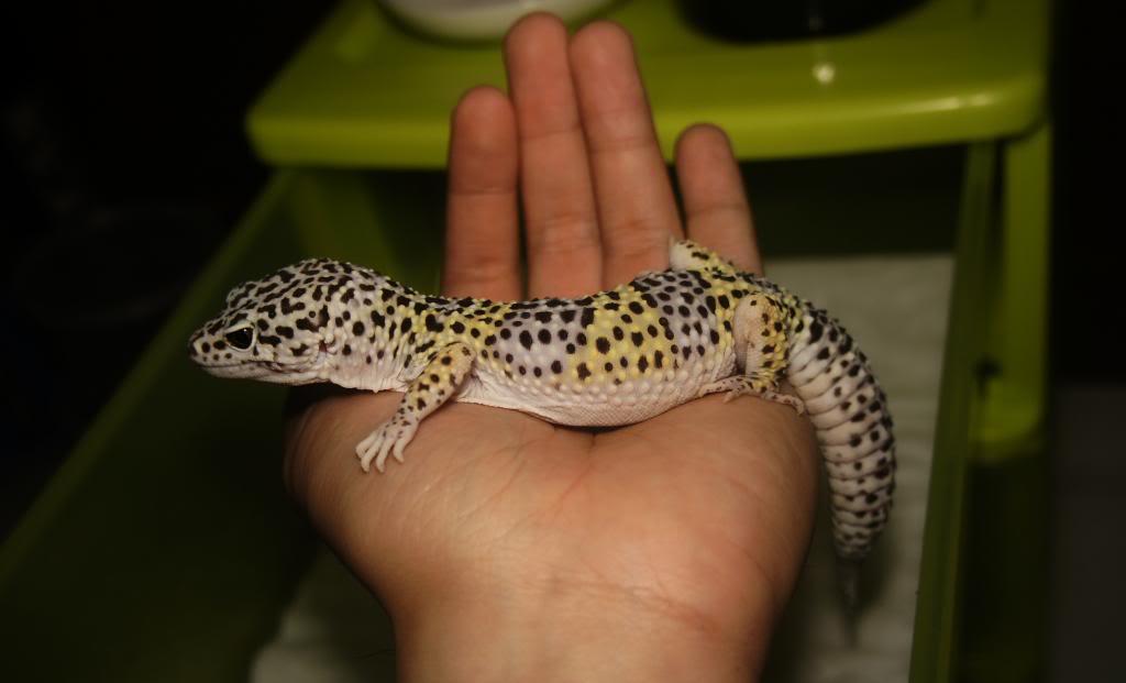 My Leopard Gecko Collection (Eublepharis macularius) DSC07446_zpsde290a7d